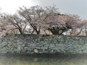 tokushima_sakura