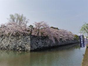 Sakura_Tokushima3